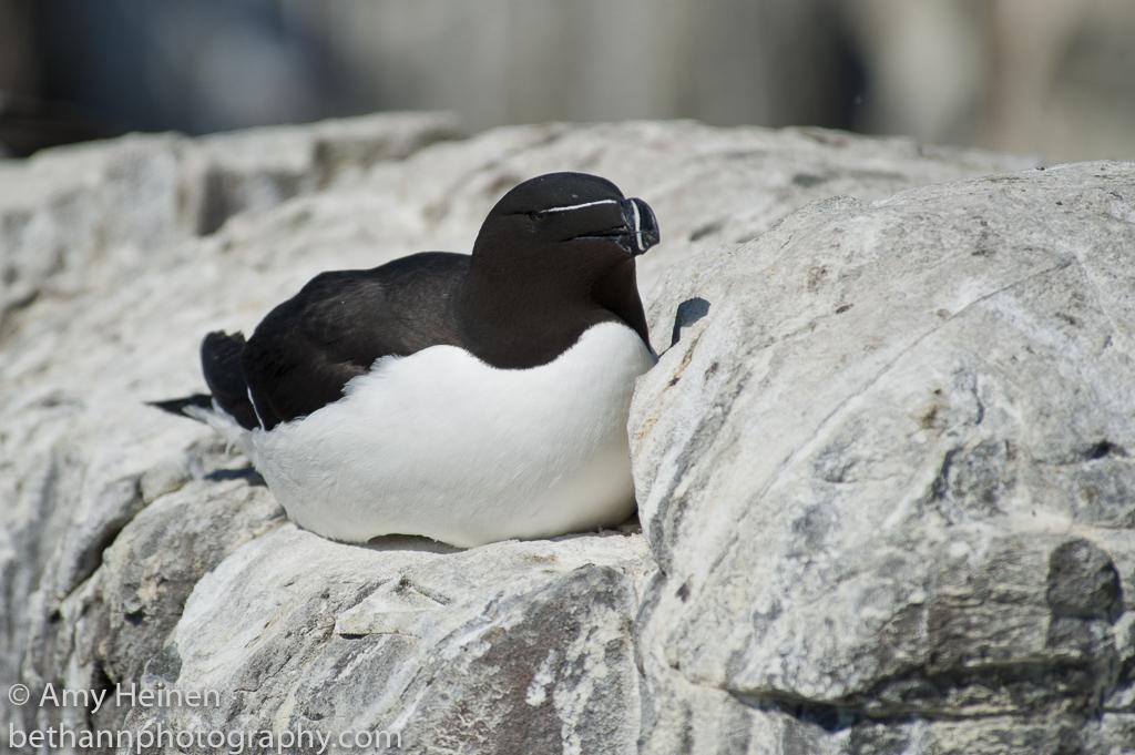 Razorbill nesting on the rocks