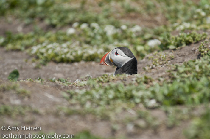 Puffin peeks out of a burrow