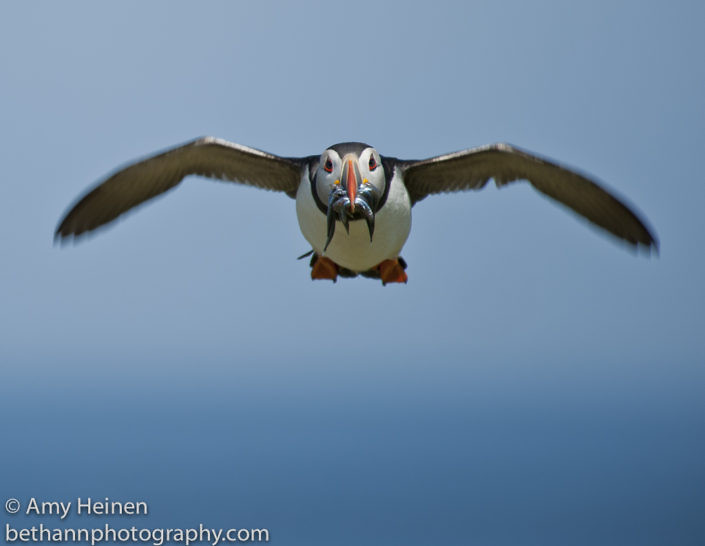 Farne Islands 2013