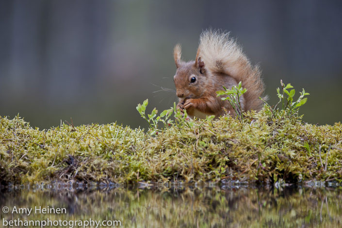 Black Isle Red Squirrels