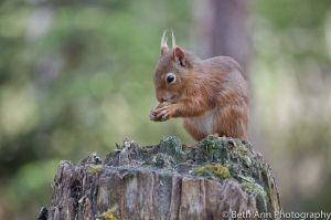 AmyHeinen_RedSquirrels-18.jpg